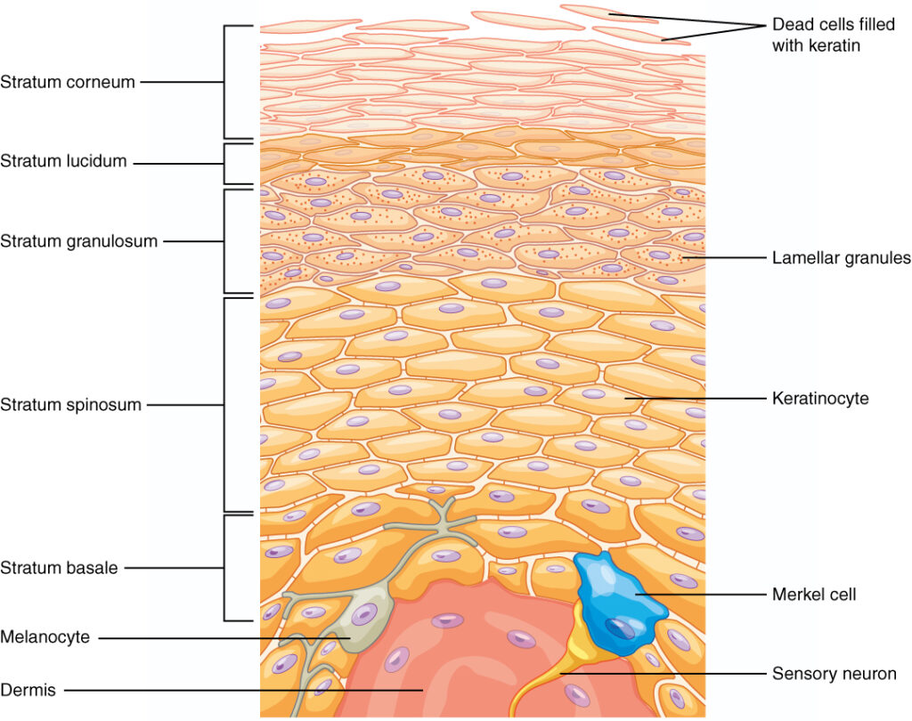 Merkel Cells graphic